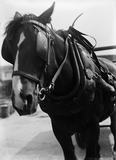 Cart horse in harness