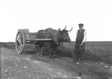 George Stout with his ox-cart, Lower Stoneybrake